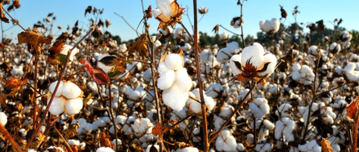 https://s3.amazonaws.com/blog.oxfamamerica.org/politicsofpoverty/2012/09/cotton-field.jpg