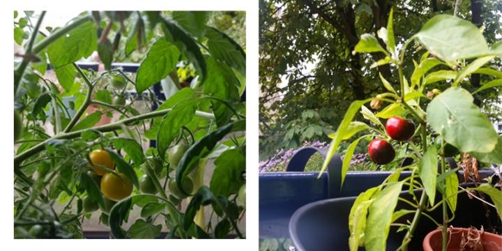 balkongemüse-urban-gardening