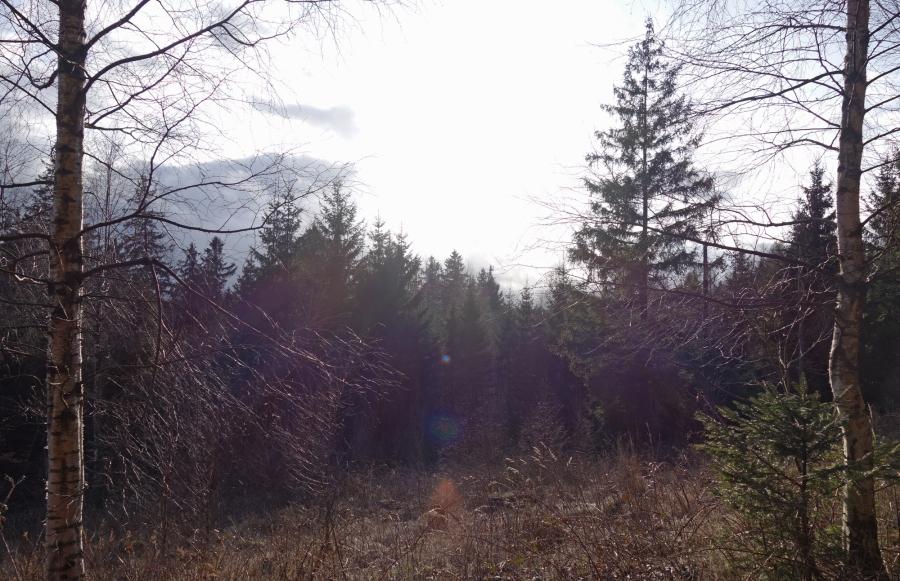 Harz-Tannenbäume-Sonne